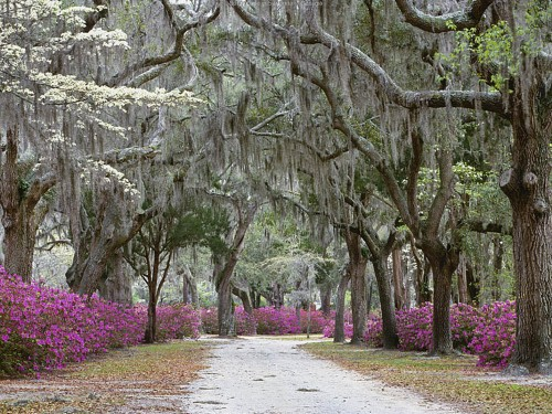 moss-laden oaks, magenta azaleas
