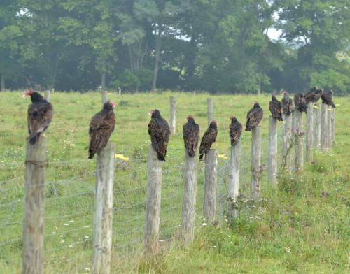 Fourteen Hungry Turkey Vultures, All in a Row!
