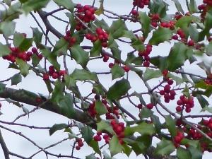Holly Tree, Backyard Dec 2014