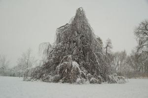 Weeping beech in winter