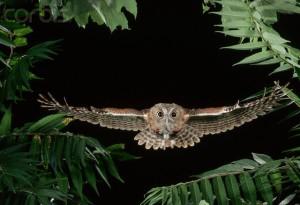 Eastern Screech Owl Flying Through Trees