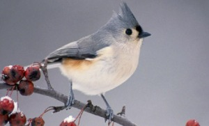 tufted_titmouse