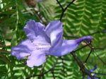 220px-Jacaranda_cuspidifolia_flower
