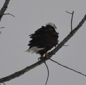 Eagle, PageImage-510414-4813400-DSC_1832