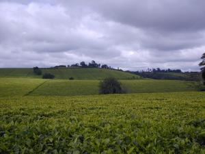 Kenya Tea Hills