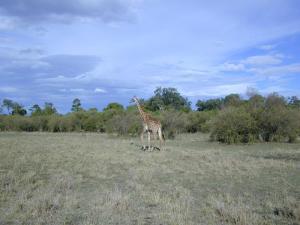 Mara Giraffe