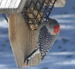 Red Belly Woodpecker 2 Feb 2015