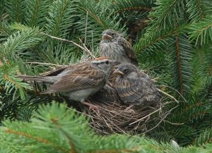 Chipping_Sparrow_with_nestlings