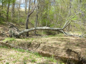 Fallen Beech