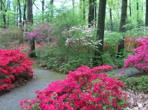 Jenkins Arboretum Rhodo Collection2