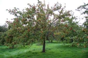 Apple Tree DSC_0611