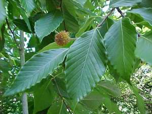 American Beech with seed cone, Fagus_grandifolia_fruit