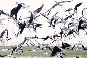 Black-Winged Stilts, lop-winged birds, bangkokpost.com