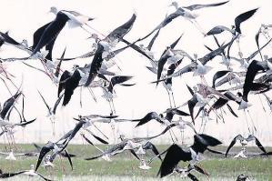 Black-Winged Stilts, lop-winged birds, bangkokpost.com