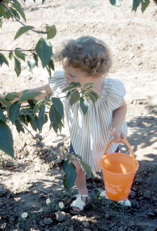 1974 Aug Sherry Cherry picking in California