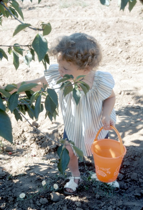 1974 Aug Sherry Cherry picking in California