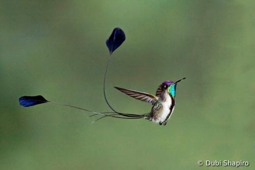Hummingbird Courtship Display.jpeg