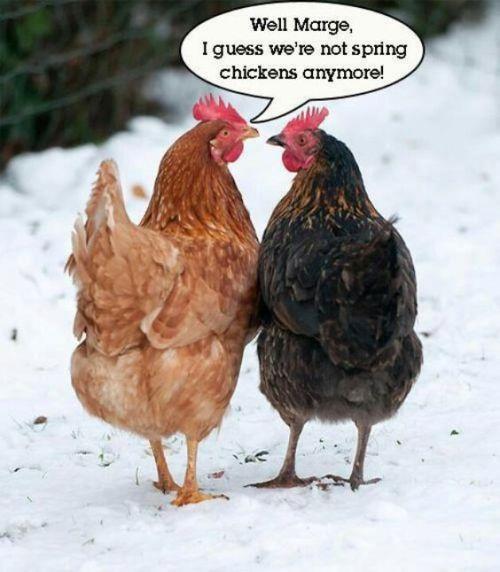 tough old hens