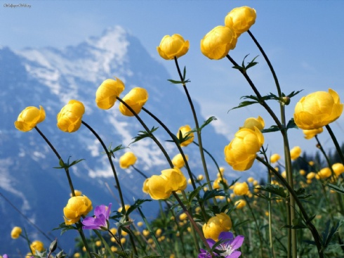 alpine-flowers_25137