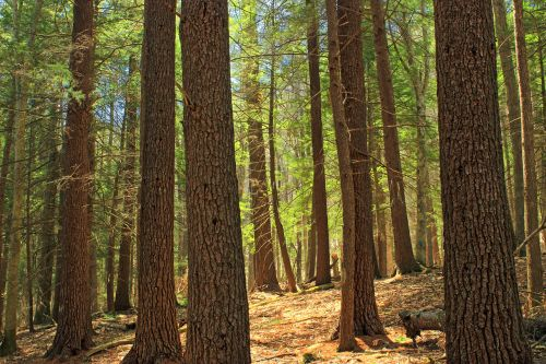 stand_of_eastern_hemlock_and_white_pine_in_tiadaghton_state_forest_pennsylvania