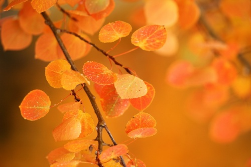 <p><em>In its final show of the season, an aspen tree's leaves turn a unique shade of orange. Soon they will fall to the ground, and come spring, the cycle will start over anew.<br /> <br /> </em>  Exclusive Limited Edition of Two Hundred and Fifty  <em><br /> </em></p>