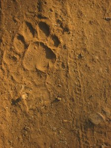 Tiger_Paw_Print_by_feystarlight